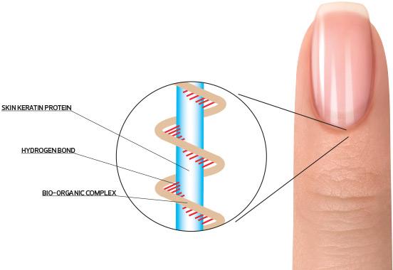 Skin Keratin Protein, hydrogen bond, and bio-organic complex